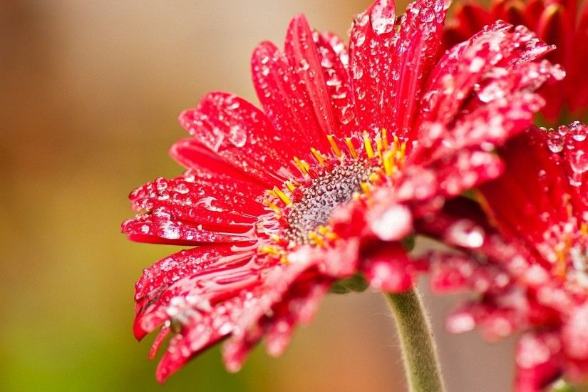 pretty red flowers with water drops HD wallpapers
