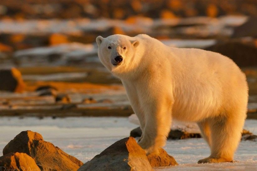 polar bear wallpaper hd download