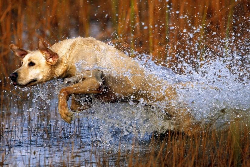 1920x1080 Wallpaper dog, labrador, jump, water, grass, hunting