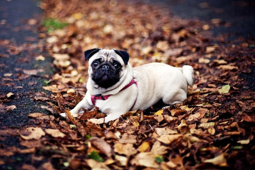 Sitting Pug wallpapers (58 Wallpapers)