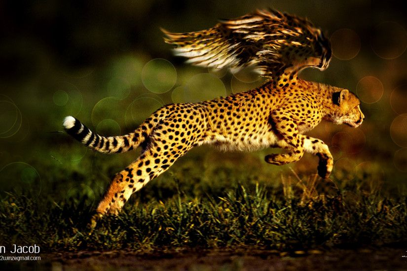 ... black cheetah wallpaper 69 images ...