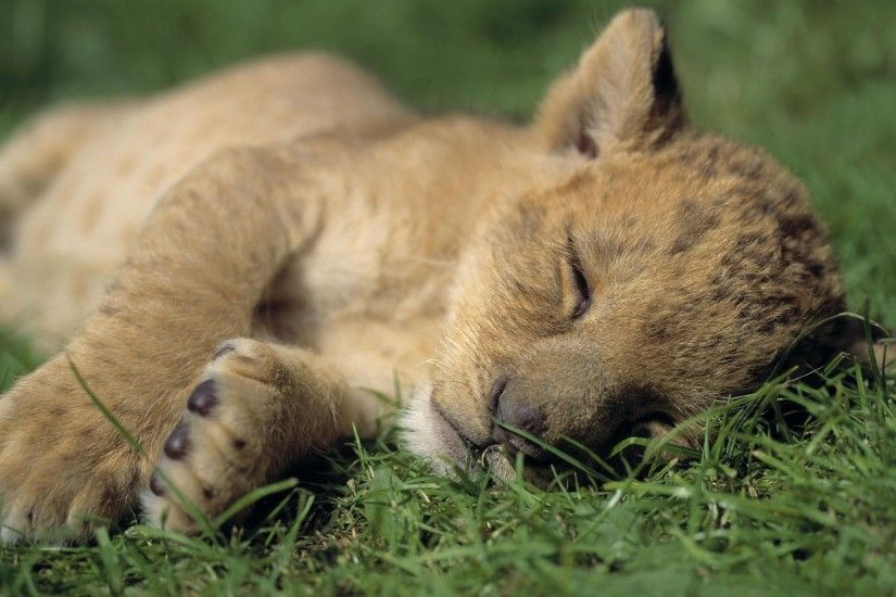 lion cub wallpapers desktop wallpaper »