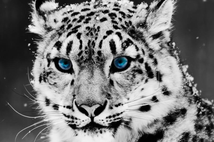 White Tiger Wallpaper Downloads