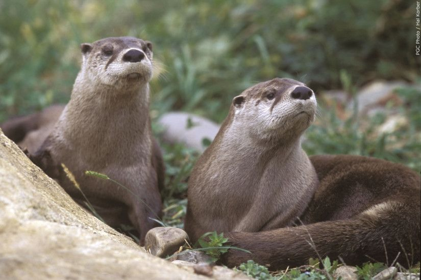 Otters images otter HD wallpaper and background photos