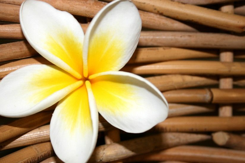 3840x2160 Wallpaper plumeria, flower, close up, decoration