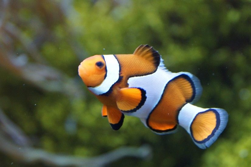 Young Clown Fish New Wallpaper Wallpaper ...