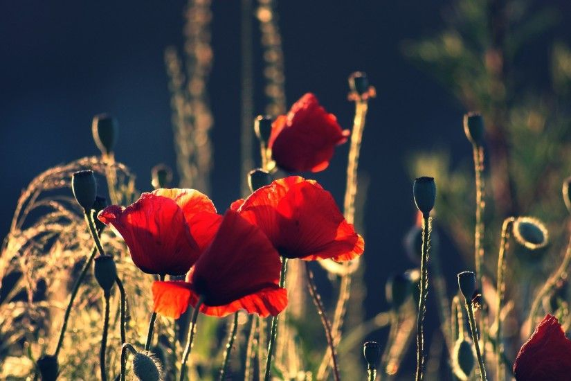 2560x1600 Wallpaper poppies, boxes, night, summer