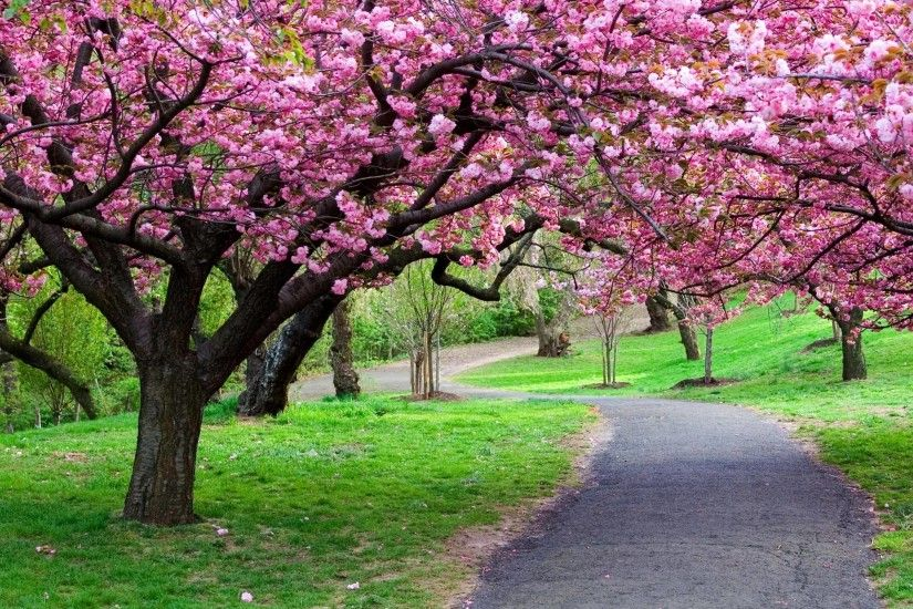 Cherry Blossom Tree wallpaper - 1106819