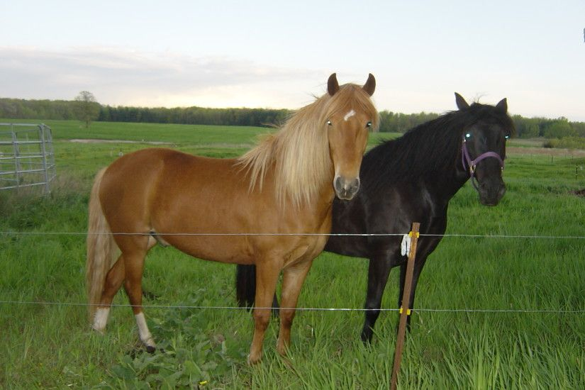 Two American Quarter Horses by FantasyStock Two American Quarter Horses by  FantasyStock