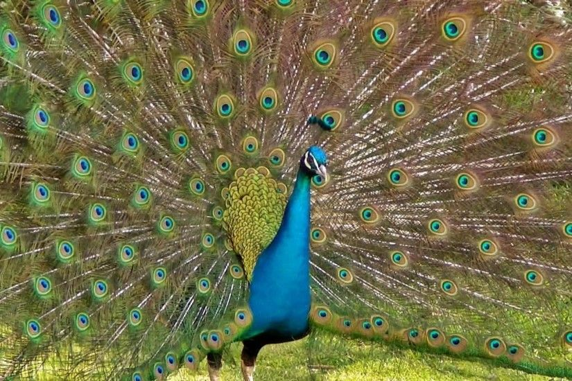 The Most Beautiful Peacock Dance Display Ever - Peacocks Opening Feathers HD  u0026amp; Bird Sound