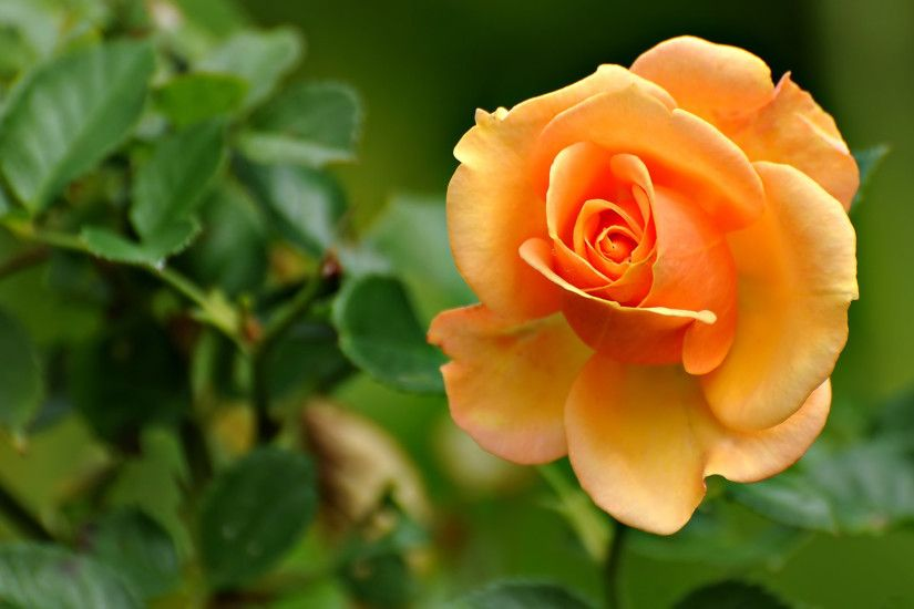 Flowers-Orange-Rose-Wallpaper