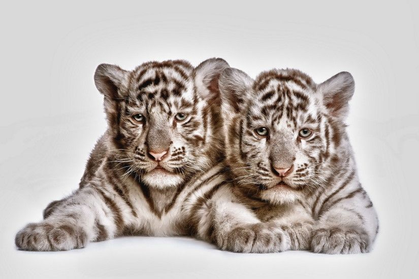Animal - White Tiger Tiger Cub Cat Animal Baby Animal Wallpaper