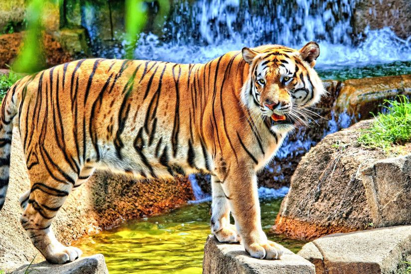 Tiger High Definiton HD Desktop Backgrounds & Wallpapers ...
