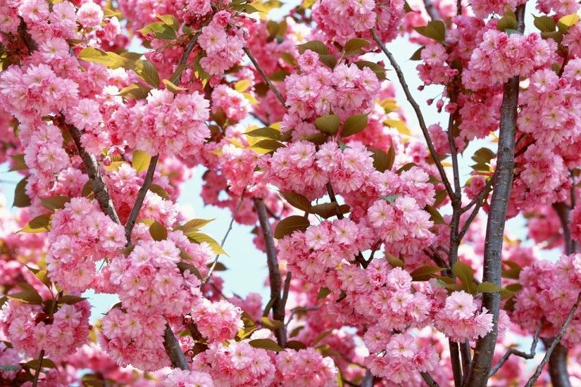 cherry blossom wallpaper free download