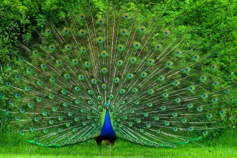 Most Downloaded Peacock Wallpapers - Full HD wallpaper search