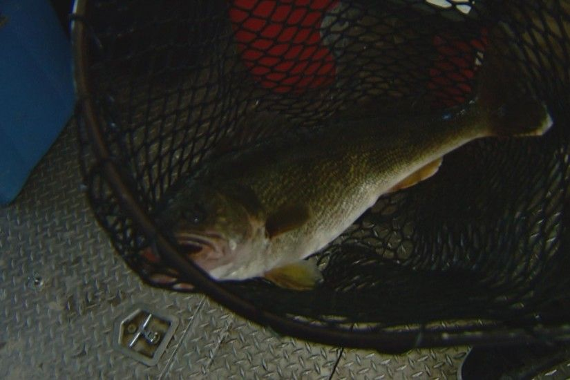 walleye 1 Precision Required For Walleye Spawning Collection