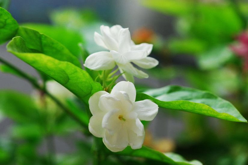 Beautiful Jasmine Flowers Wallpapers HD Pictures