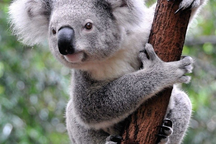 Curious Koala / HD iPad Wallpapers