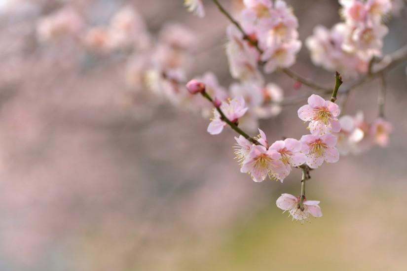 cherry blossom wallpaper 1920x1080 for android tablet