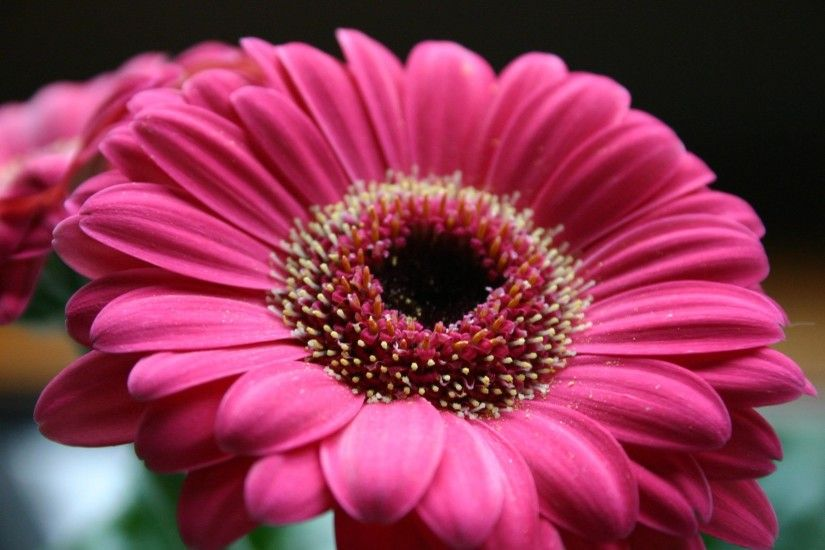 pin Gerbera clipart hot pink flower #7