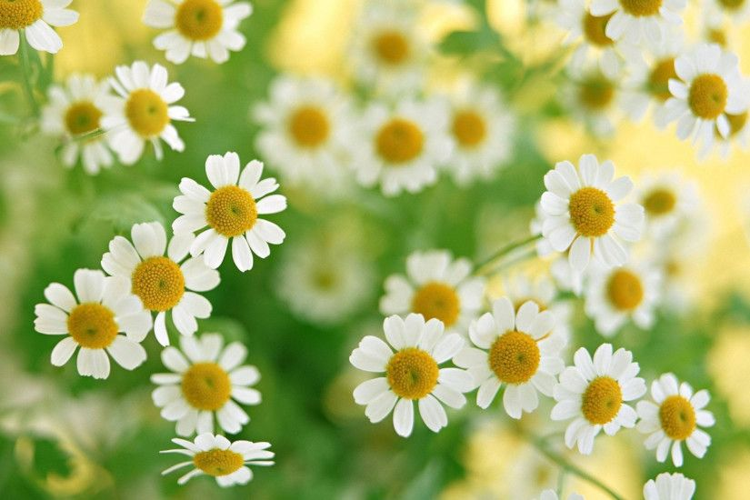1920x1080 Wallpaper chamomile, flowers, summer, flower, petals, close-up