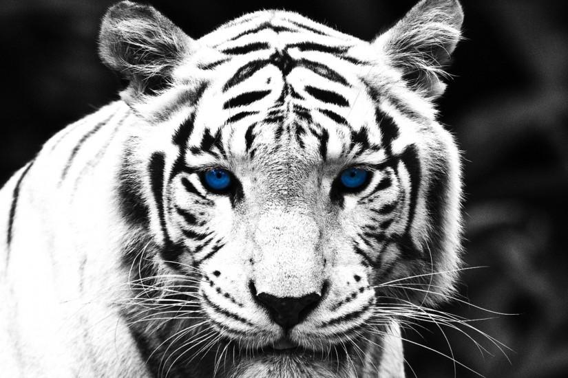 White Tiger Wallpapers : Get Free top quality White Tiger Wallpapers for  your desktop PC background