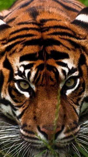 Preview wallpaper tiger, face, aggression, animal 1440x2560