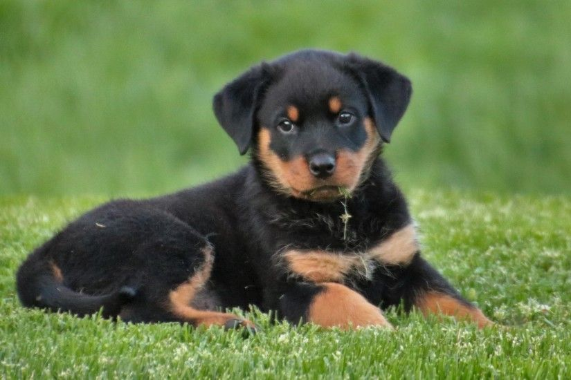 Preview wallpaper rottweiler, puppy, dog, lying 1920x1080