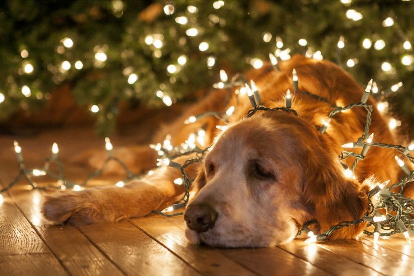 christmas new year lights bright animals dogs humor funny wallpaper .
