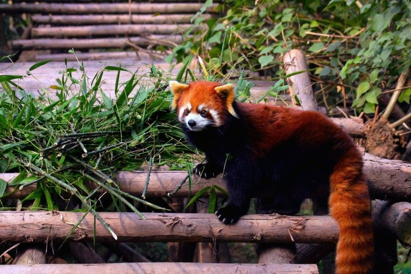 2560x1440 Wallpaper red panda, stairs, building, climbing, leaves