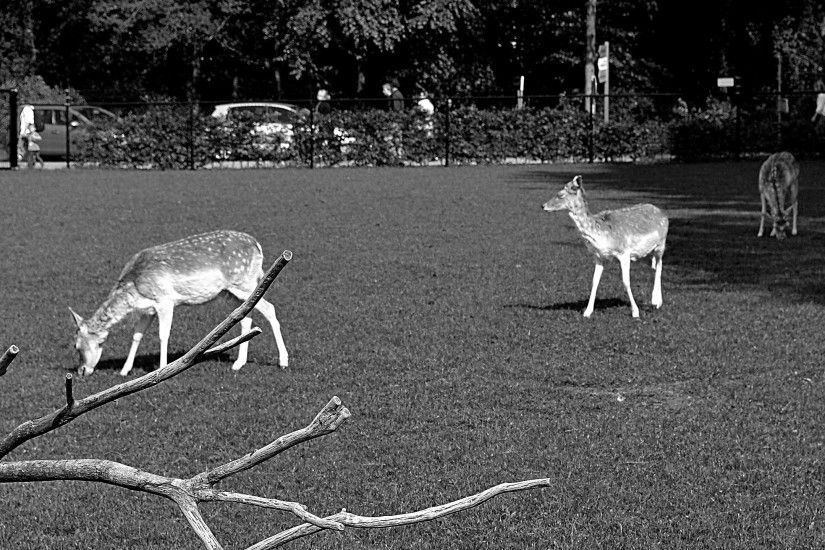 Black white wallpaper with a few deer in a park. People are walking behind  the fences.
