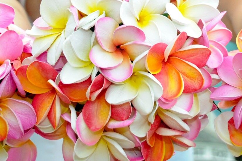 Frangipani (Plumeria) images Frangipani HD wallpaper and background photos