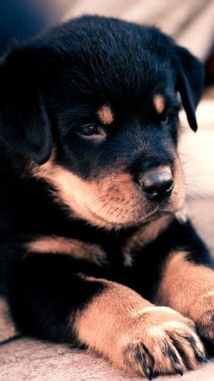Preview wallpaper puppy, rottweiler, cute, baby 1440x2560