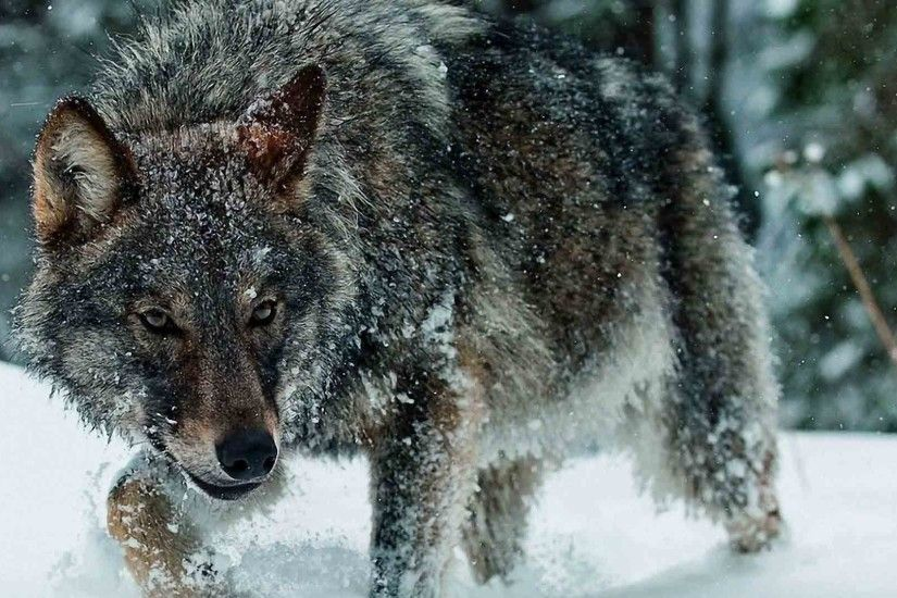 Full HD p Wolf Wallpapers HD, Desktop Backgrounds 1920×1080 Wolf Wallpaper  (39