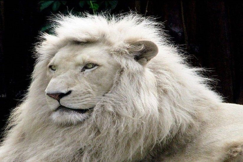 animal-lovers-white-lion-free-wallpapers-hd