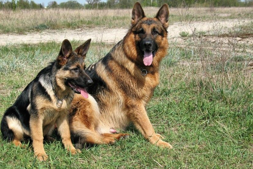 German Shepherds were bred specifically for their intelligence, a trait for  which they are now famous. In the book The Intelligence of Dogs, author  Stanley ...