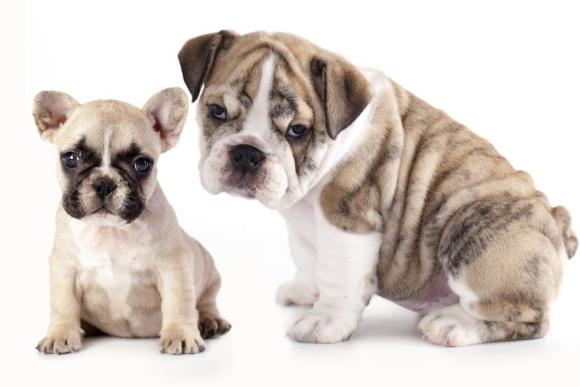 dogs puppies french bulldog english bulldog bulldogs