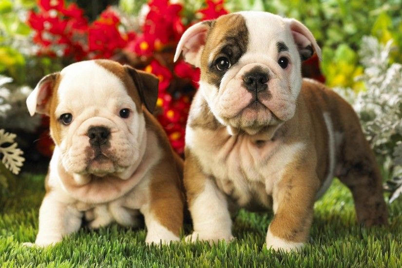 English, Bulldog, Puppies, Desktop, Wallpaper, For, Background, Full, Free,  Pets, Free, Download, 1920×1080 Wallpaper HD