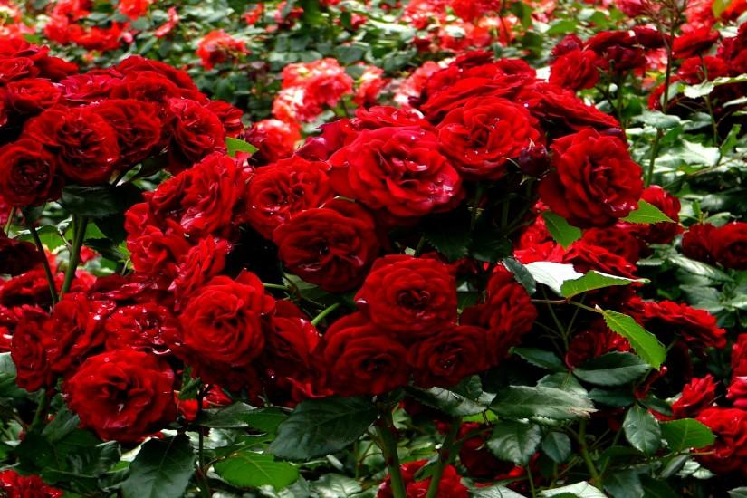 Red Roses Garden Wallpaper - Rose Day - All Day Images