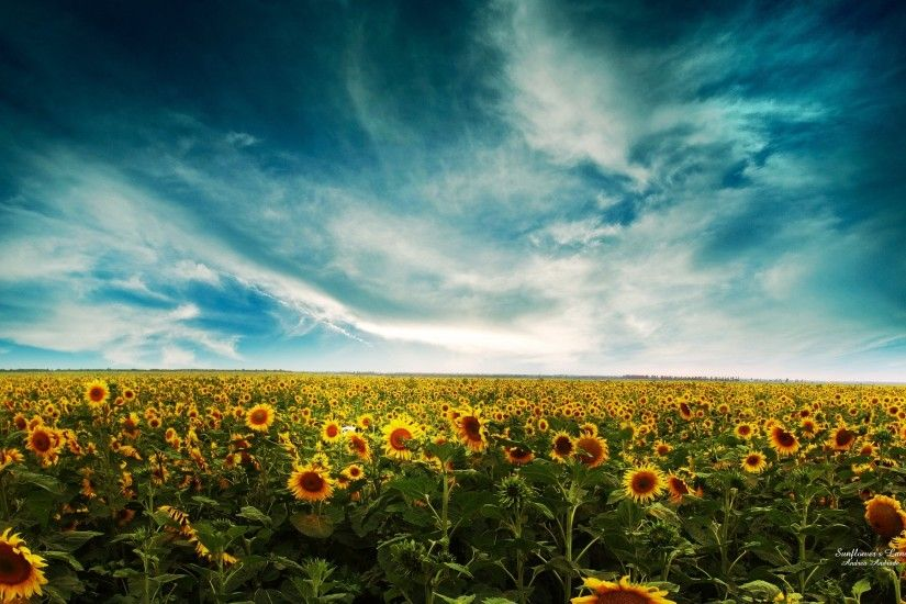 Sunflowers Land Wallpaper Flowers Nature Wallpapers