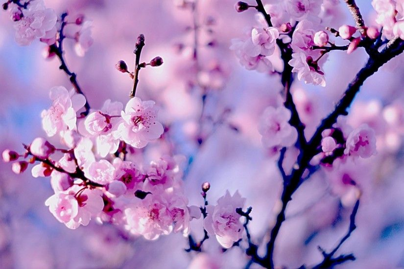Title : 30 hd cherry blossom wallpapers for desktop - designemerald.  Dimension : 1920 x 1263. File Type : JPG/JPEG