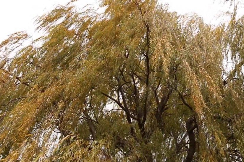 weeping willow in wind