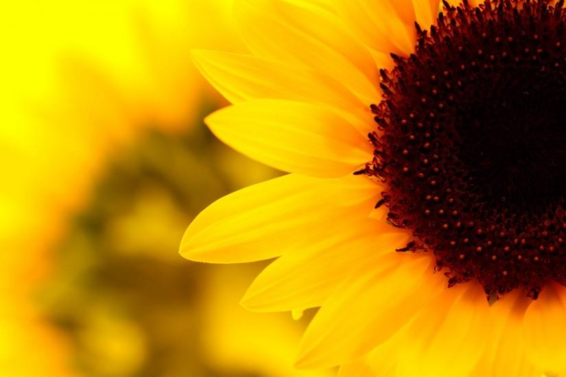 amazing sunflower background 1920x1200 for full hd