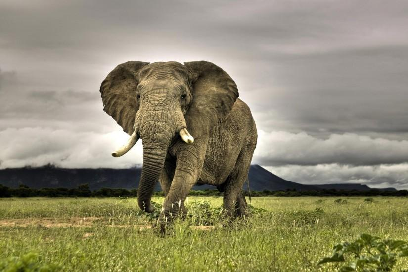 free African Elephant wallpaper wallpapers and background