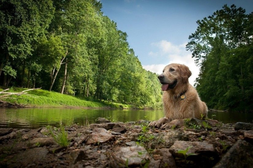 Golden Retriever Wallpaper Background 2080