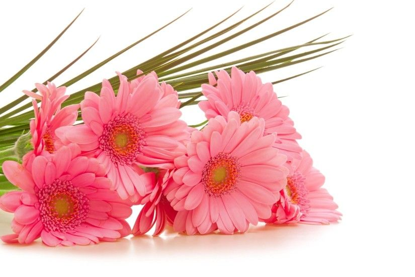 Pink Gerbera Flower Wallpaper HD for desktop and mobile in high resolution  free download. We