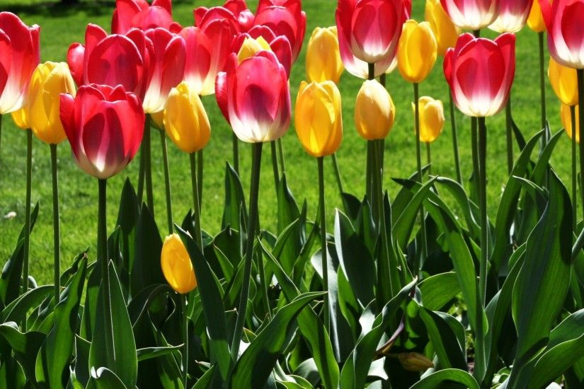 ipad wallpaper Spring Season 2048x2048  tulips_flowers_flowerbed_park_grass_spring