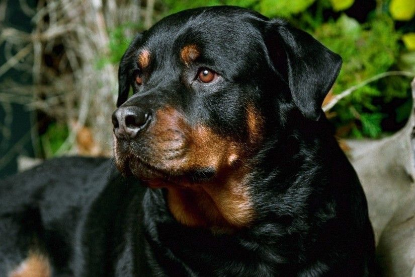 21 Rottweiler HD Wallpapers Backgrounds Wallpaper Abyss - HD Wallpapers
