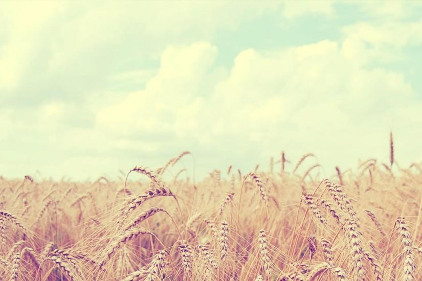 Soft Wheat Field HD Wallpaper » FullHDWpp - Full HD Wallpapers .