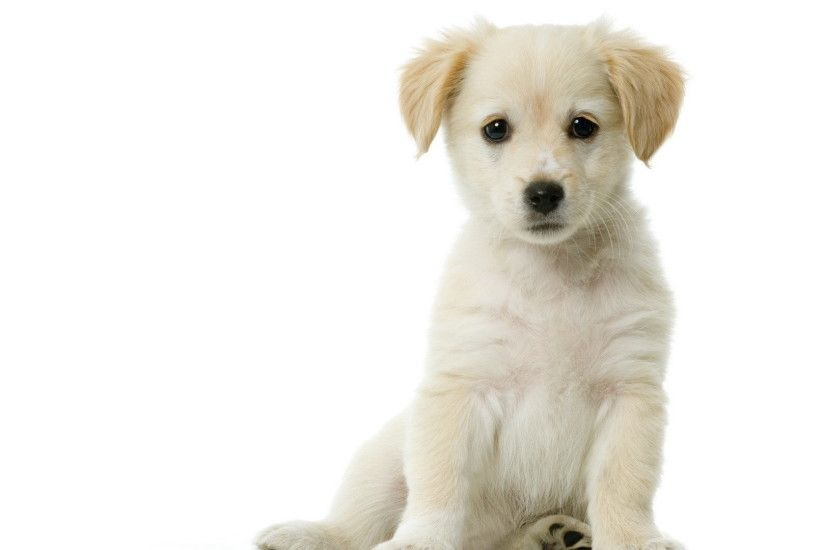 White Puppy Desktop Background. Download 1920x1080 ...